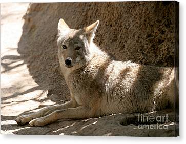 Texas Coyote Canvas Print by Jeannie Burleson