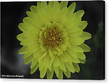 Canvas Print featuring the photograph Texas Dandelion by Robyn Stacey