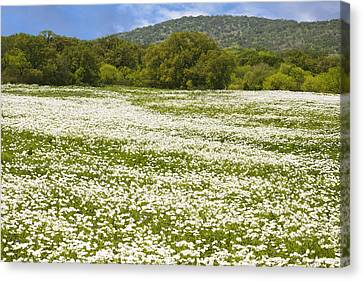 Texas Hill Country Spring 2 Canvas Print by Paul Huchton