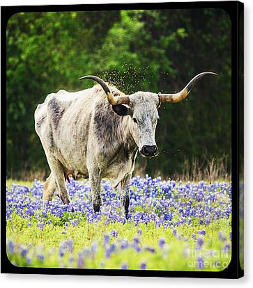 Texas Longhorn And Bluebonnets Canvas Print