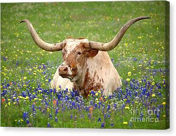 Longhorn Canvas Print - Texas Longhorn In Bluebonnets by Jon Holiday