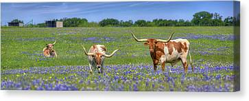Texas Longhorns In Bluebonnets Panorama Canvas Print