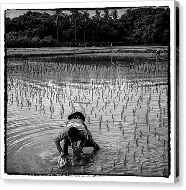 Thailand Canvas Print - Thailand Rice Planting by David Longstreath