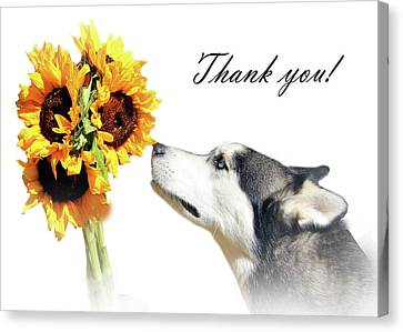 Thank You Husky And Sunflowers Canvas Print by Stephanie Laird
