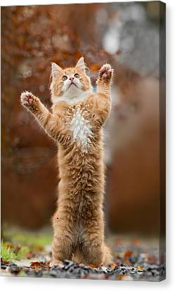 That Mouse Was This Big -red Haired Kitten Canvas Print by Roeselien Raimond