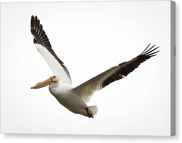 Canvas Print featuring the photograph The Amazing American White Pelican by Ricky L Jones