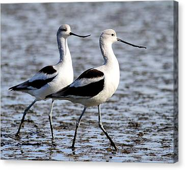 The American Avocet Tango . 7d4839 Canvas Print by Wingsdomain Art and Photography