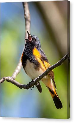 American Redstarts Canvas Print - The American Redstart by Bill Wakeley