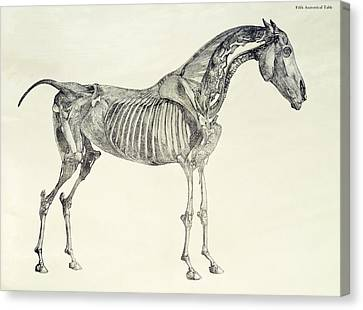 The Anatomy Of The Horse Canvas Print by George Stubbs