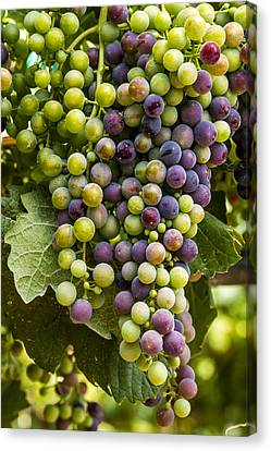 The Art Of Wine Grapes Canvas Print by Teri Virbickis