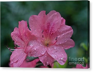 The Azalea During A Rain Canvas Print by Dan Friend