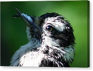 The Baby With Suet Canvas Print by Bonnie Brann