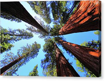 Redwoods Canvas Print - The Bachelor And The Three Graces by Rick Berk