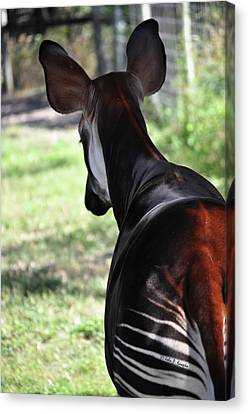 The Beautiful Okapi 02 Canvas Print by John Knapko