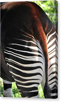 The Beautiful Okapi 03 Canvas Print by John Knapko