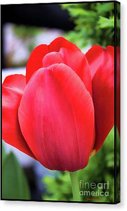 The Tulip Beauty Canvas Print