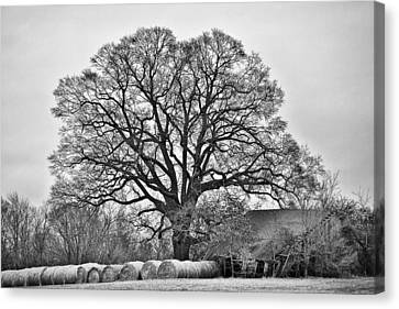 Canvas Print featuring the photograph The Big Tree by Ron Dubin