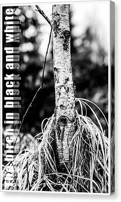 The Birch In Black And White Canvas Print by Tommytechno Sweden