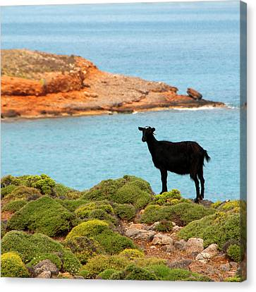 The Black Cheep Canvas Print by Manolis Tsantakis