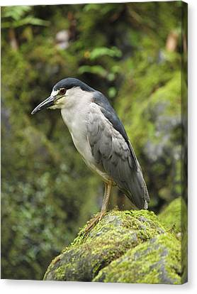 The Black Crowned Night Heron Canvas Print by Phil Stone
