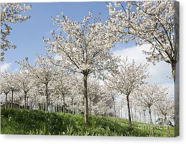 Cherry Tree Canvas Print - The Blossoming Of Spring by Tim Gainey