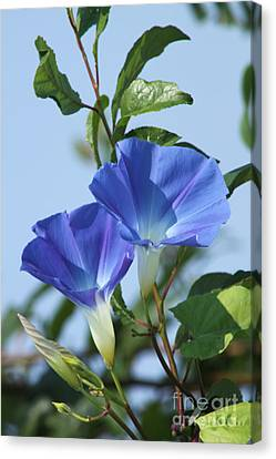 The Blue Morning Glory Canvas Print by Cathy  Beharriell