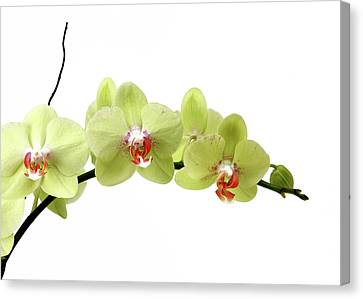 The Branch Of A Flowering Orchid Canvas Print by Nicholas Eveleigh
