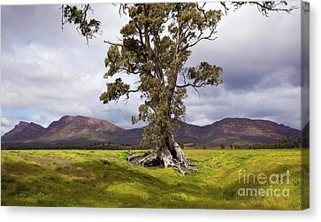 The Cazneaux Tree Canvas Print by Bill Robinson