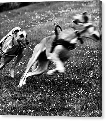 The Chasing Game. Ava Loves Being Canvas Print by John Edwards