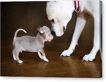 The Chihuahua Vs The Pity Canvas Print