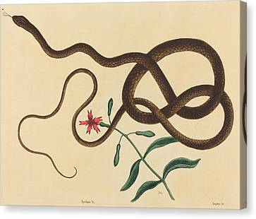 Whip-snake Canvas Print - The Coach - Whip Snake - Colluder Flagellum by Mountain Dreams