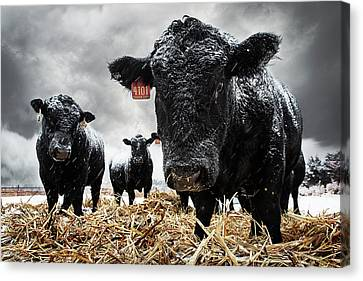 The Cold Is Bull..... Canvas Print by Thomas Zimmerman