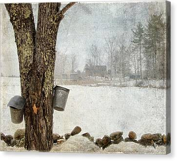Collecting Sap For Making Maple Syrup Canvas Print by Betty  Pauwels