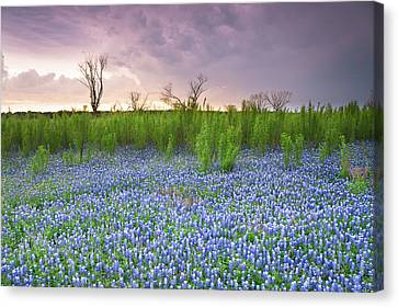 The Colors Of Bluebonnet Field On A Stormy Day - Texas Canvas Print by Ellie Teramoto