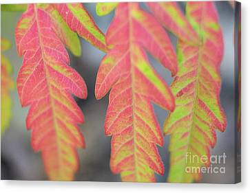 The Colors Of Shumac 8 Canvas Print by Victor K