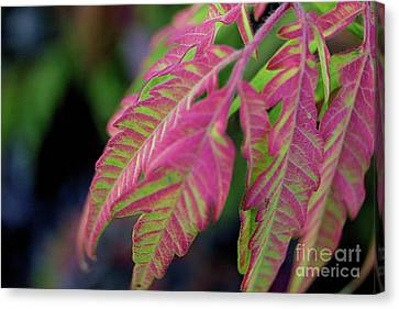The Colors Of Shumac 9 Canvas Print by Victor K