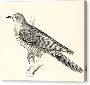 The Common Cuckoo, Cuculus Canorus Canvas Print by Vintage Design Pics