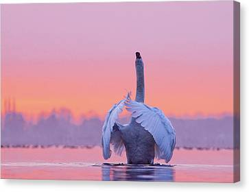 The Conductor - Mute Swan At Sunset Canvas Print by Roeselien Raimond