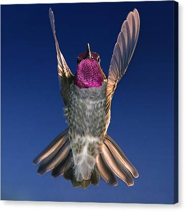 The Conductor Of Hummer Air Orchestra Canvas Print by William Lee