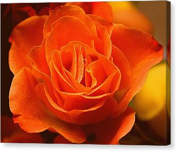 The Coral Rose Canvas Print