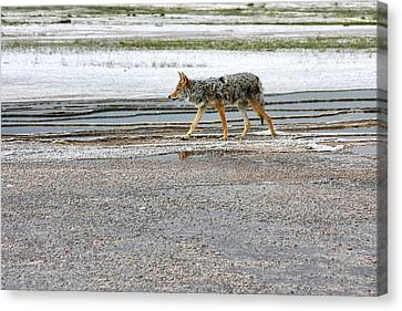 The Coyote - Dogs Are By Far More Dangerous Canvas Print by Christine Till