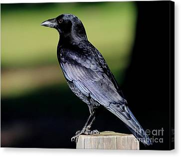 The Crow Canvas Print by Wingsdomain Art and Photography