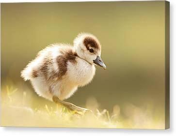 The Cute Factor - Egyptean Gosling Canvas Print by Roeselien Raimond