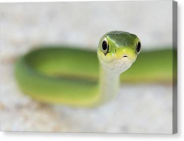 The Cute Green Snake Canvas Print by JC Findley