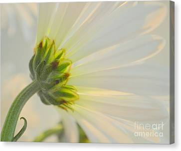The Delicate Daisy Canvas Print by Mary Deal