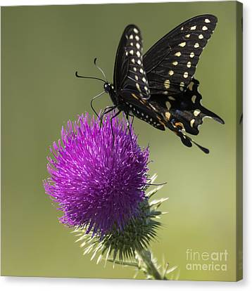 The Eastern Black Swallowtail  Canvas Print by Ricky L Jones