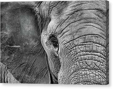 The Elephant In Black And White Canvas Print by JC Findley