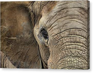 The Elephant Canvas Print by JC Findley