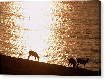 The Elk Of Tomales Point Canvas Print