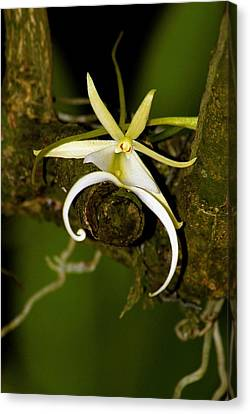 The Elusive And Rare Ghost Orchid Canvas Print